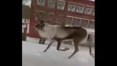 В Омске два часа ловили сбежавшего оленя Стесняша: видео