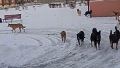 Брянцев напугала стая собак у входа в детскую поликлинику