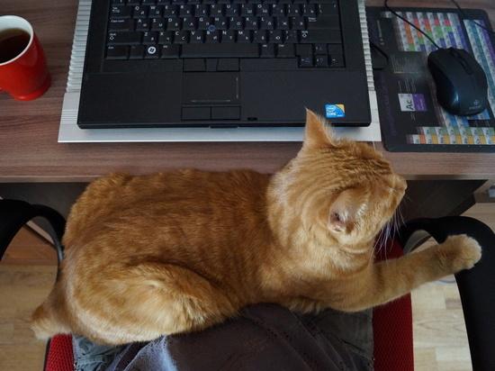 Определено, как кошки влияют на хозяев на удаленной работе