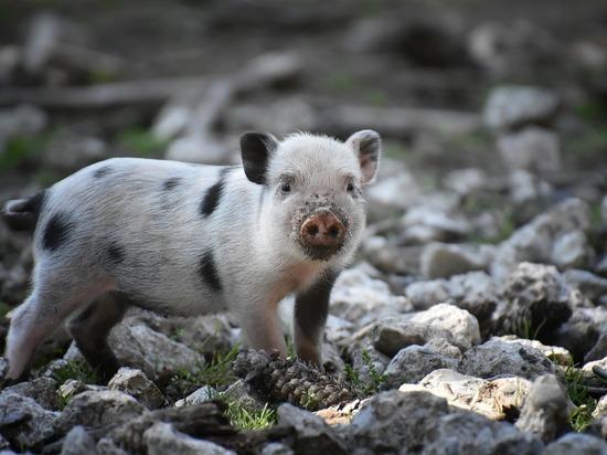 Белоруссия ввела ограничения на ввоз свинины из Волгоградской области