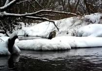 Серая цапля впервые зимой попала на видео под Тверью