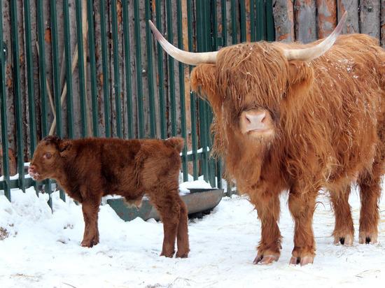 Шотландский хайленд родился в нижегородском «Лимпопо»