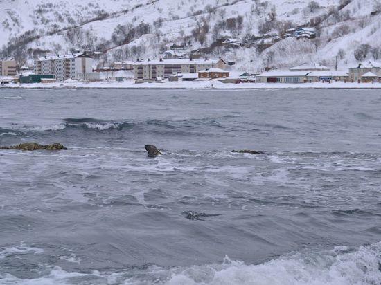 На Сахалине маленького сивуча спасли из ледяного плена