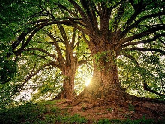 Раскрыт секрет долголетия деревьев