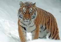 Страшная трагедия произошла в верховьях реки Бута в 140 километрах от Ванино. Молодого охотника 1990 года рождения нашли мертвым 10 января 2021 года. На мужчину напал тигр, возможно, людоед.