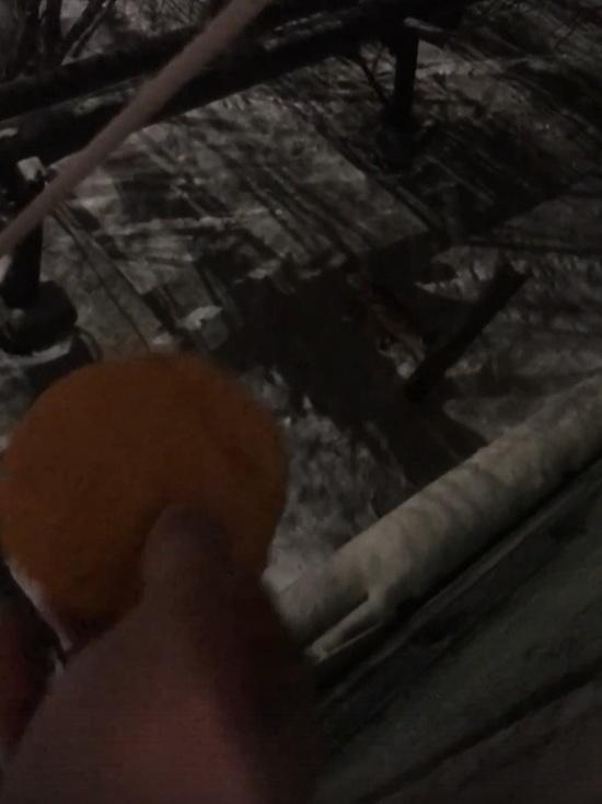 Бросал еду в окно: житель Салехарда накормил лису котлетами