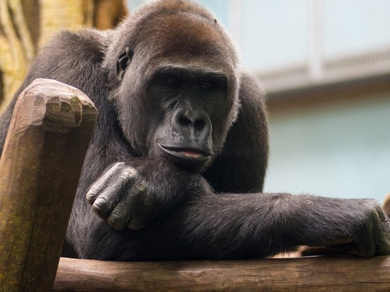 Коронавирус обнаружен у горилл в зоопарке Сан-Диего