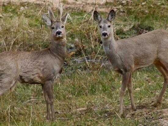 В Омской области судят браконьеров на косуль