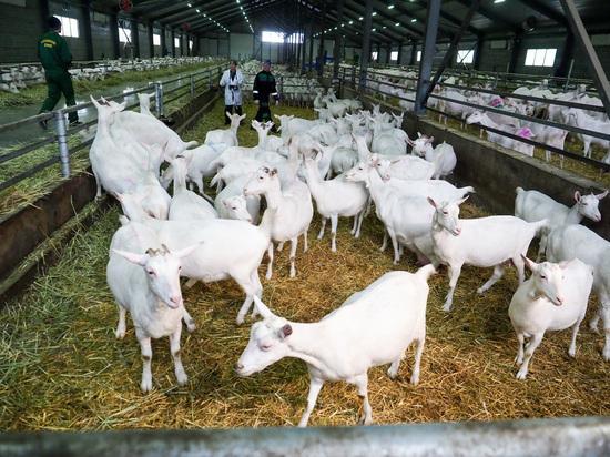 Буйволиную ферму построят на Ставрополье вслед за козьей