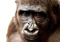 В зоопарке американского Сан-Диего впервые зарегистрировали случай инфицирования новым коронавирусом горилл