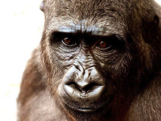 Ученые объяснили заболевание гориллы коронавирусом: новая инфекция вытеснит предыдущую