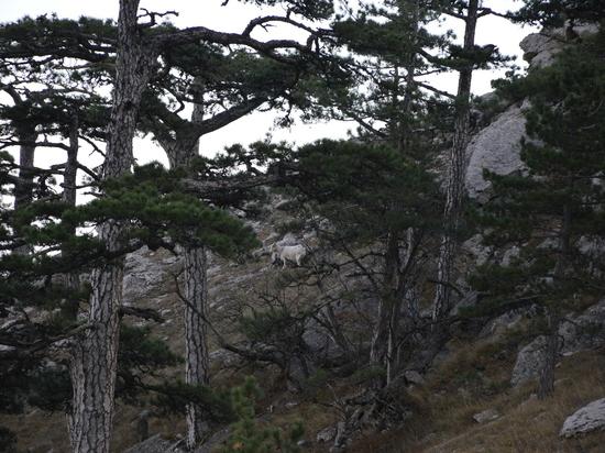 Среди скал Ай-Петри заметили козла-отшельника
