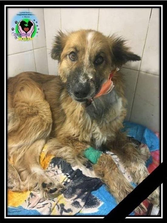 Волонтёры сообщили о смерти собаки, которой выстрелили в пасть в Кузбассе