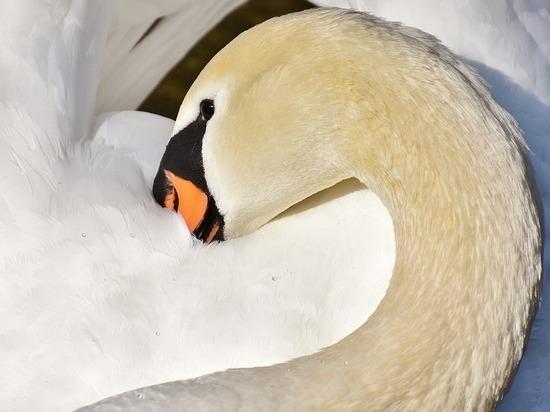 Россельхознадзор: в Северной Осетии диких лебедей погубил вирус
