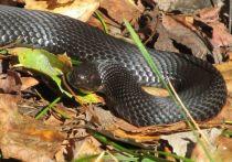 Яд змеи, способный бороться с вирусом SARS-CoV-2, нашли российские ученые из Института биоорганической химии имени...