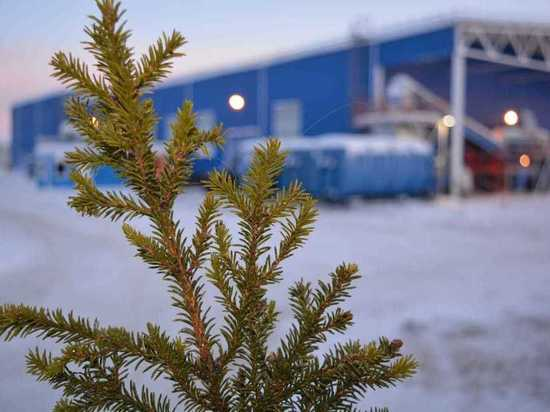 Акция по утилизации новогодних ёлок стартовала в Мурманской области