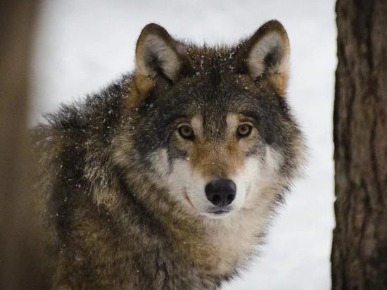 """В Одинцово ищут сбежавшего """"ручного"""" волка"""
