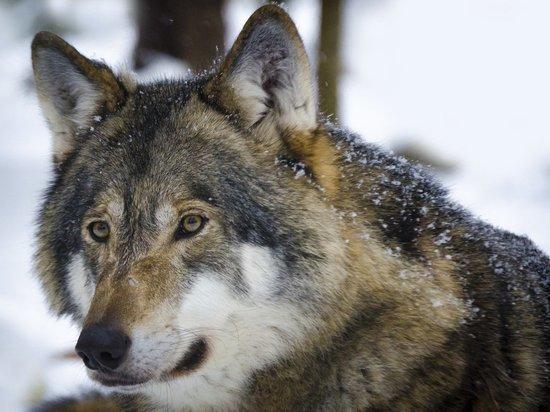 В Подмосковье поймали сбежавшего от хозяина волка