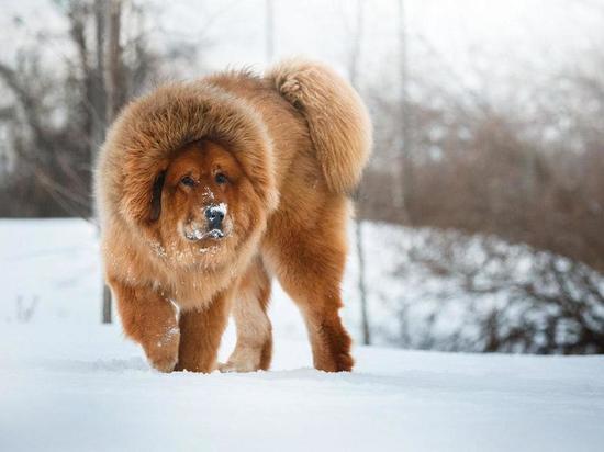 Рязанцам назвали самые дорогие породы собак