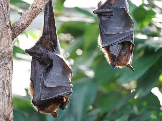 Ученые из лаборатории в китайском Ухане признают, что были укушены при сборе образцов в пещере, где обитают летучие мыши, инфицированные коронавирусом