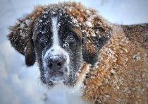 Во время прогулок с четвероногим питомцем в мороз (а столбики термометров в Москве опустились ниже 20 градусов!) ветеринары просят хозяев быть очень внимательными и обращать внимание на малейшие признаки переохлаждения – если замешкаться, собака может пострадать