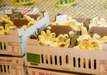 Агрохолдинг «Дороничи» запустил производство инкубационного яйца в Ульяновской области