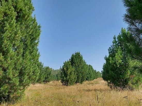Специалисты выясняют генетические качества кедров в лесничестве Абазы