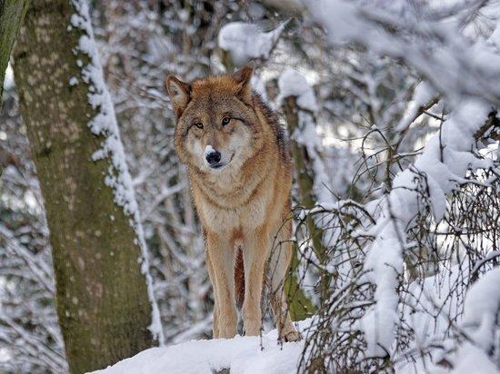 В Чупе волки ушли от охотников заливом