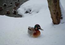 Внешний облик утки, встреченной орнитологами во время зимнего учёта водоплавающих, порядком озадачил искушенных в изучении видового разнообразия столичной фауны ученых