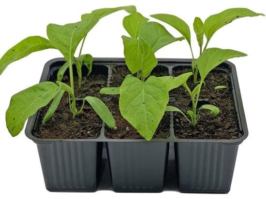 Как волгоградцам вырастить здоровую и сильную рассаду баклажанов photo