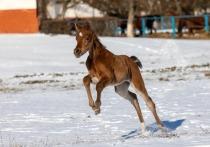 Чистокровные «арабы» родились на конезаводе Ставрополья в январе