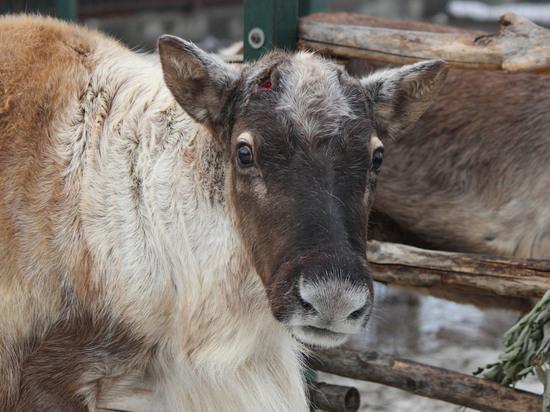 """В зоопарке """"Лимпопо"""" северный олень сбросил рога"""
