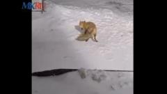 В Красной Поляне туристы угостили печеньем лисицу