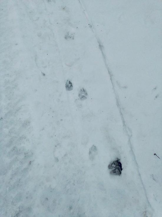 В Шахунском районе волки идут в поселки
