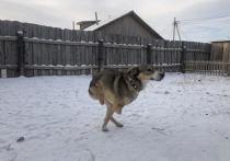 В Улан-Удэ бездомный пес Байден потерял две лапы в ДТП