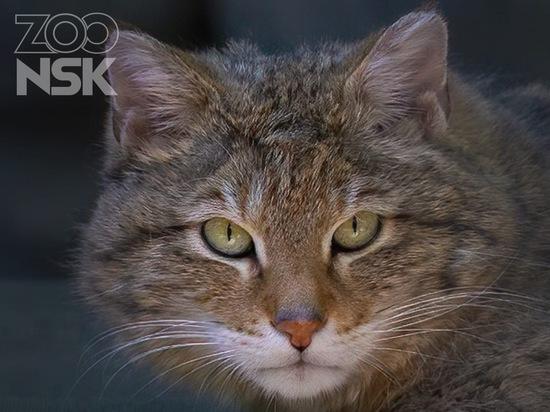В Новосибирском зоопарке рассказали, откуда там взялись обычные коты и кошки