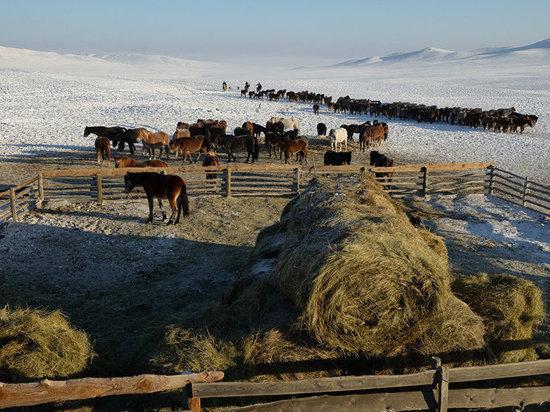 В Туве состоялась расширенная коллегия Министерства сельского хозяйства и продовольствия республики, на которой были рассмотрены итоги 2020 года.