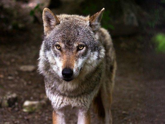 Волк утащил породистую собаку из рук россиянки