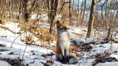 Лиса и енот завтракают в лесу – смотрите видео