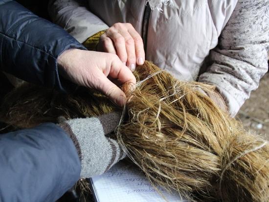 Как в Псковской области выращивают техническую коноплю