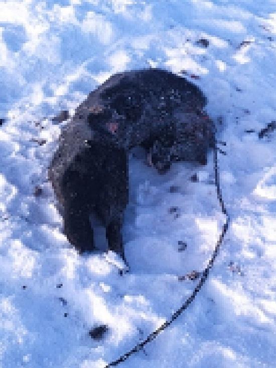 Дикие псы разорвали сидящих на цепи домашних собак в Салехарде