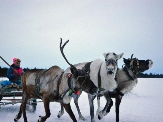 Из Мурманской области в Удмуртию перевезут трёх оленей