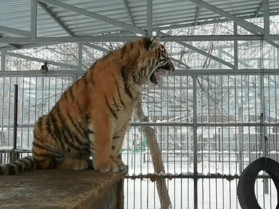 «Просто капризуля»: в барнаульском зоопарке «заплакал» тигр