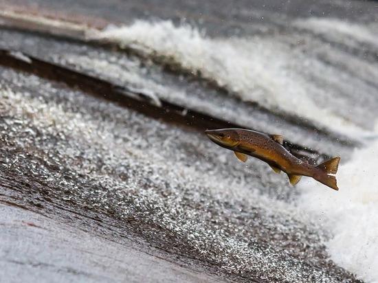 На Сахалине попытались понять, как вернуть лосось