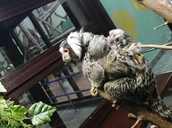 В Ижевском зоопарке самец обезьянки-игрунка воспитывает тройню