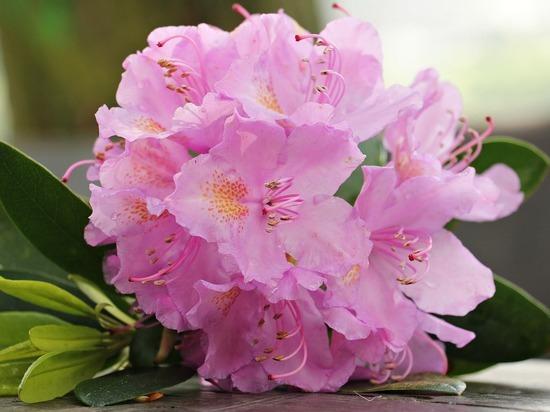 Томичи смогут полюбоваться цветущими азалиями в ботсаду