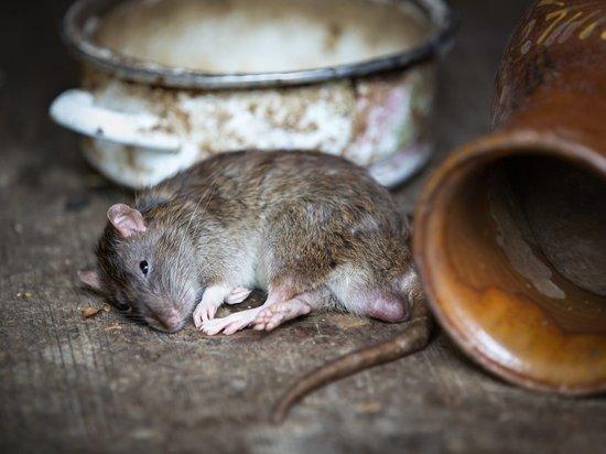 Начали дохнуть крысы: томичи вторую неделю задыхаются от запаха фекалий из подвала