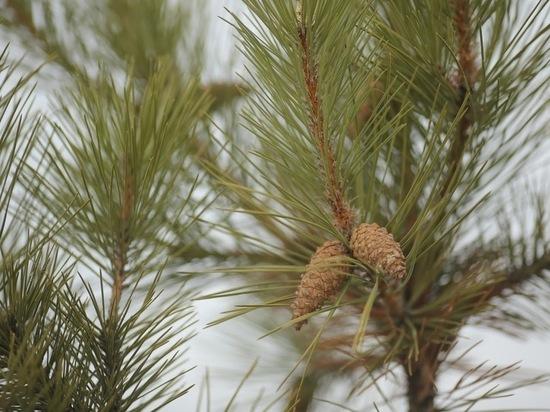 В лесничествах Волгоградской области шишки перерабатывают на семена