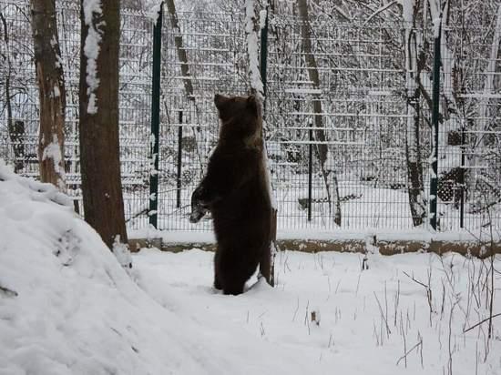 """Калужский """"авиамедведь"""" Мансур первый раз за три года впал в спячку"""
