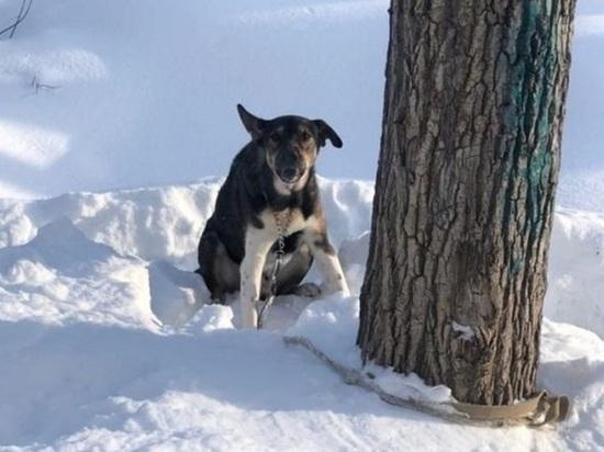 Неравнодушные томичи спасли брошенную на морозе привязанную к дереву собаку